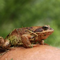 Lebendige Wissenschaft Frosch Kopf