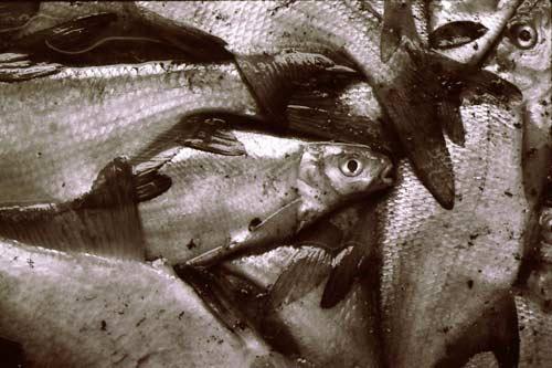Ökologie und Glück Futterfisch