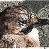Tote Vögel fliegen nicht - Eichelhäher
