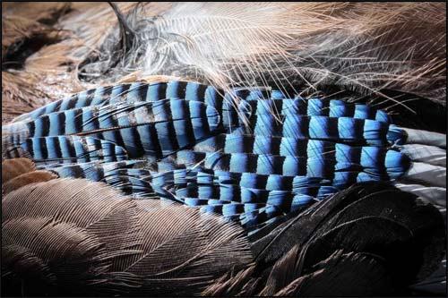 Tote Vögel fliegen nicht - Eichelhäher-Federn