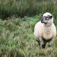 Essen Schaf